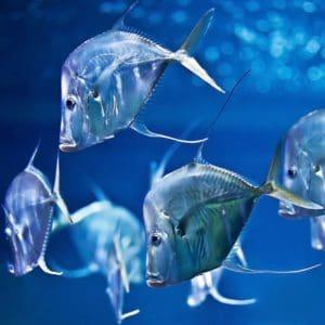 Mehrere Bodenguckerfische im Aquarium des Sealife in Berlin, unweit von Louisa's Place Hotel am Kudamm